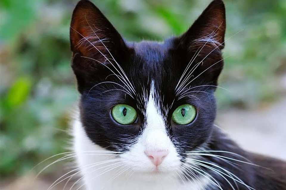 Mudança de cor: saiba como funcionam os olhos dos gatos